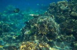 Paysage marin avec le récif coralien Photo sous-marine d'habitants tropicaux de bord de la mer Images libres de droits