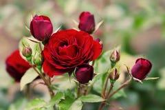 Paysage marron de floraison de roses Scène florale de jardin d'été Photo molle de bokeh Images libres de droits