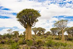 Paysage namibien avec des arbres de tremblement Photographie stock