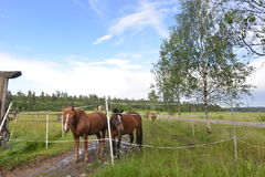 Paysage naturel de poney de ranch de la Finlande Photographie stock libre de droits