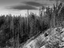 Paysage noir et blanc vibrant horizontal de forêt image libre de droits