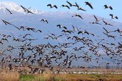 Paysage pastoral d'oiseaux migrateurs Photo stock