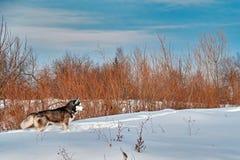 Paysage : promenade avec le chien Chien de traîneau sibérien sur la promenade d'hiver Chien enroué couru dans la neige Photo libre de droits