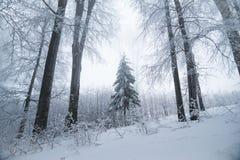 Paysage renversant, arbres givrés Photo stock