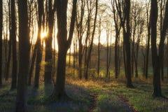 Paysage renversant de forêt de jacinthe des bois au printemps dans le compte anglais Photo libre de droits