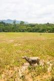 Paysage renversant des gisements remplis d'eau de riz et du cloudscape scénique en Tana Toraja, Sulawesi du sud, Indonésie Vue gr photographie stock libre de droits