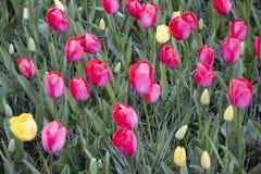 Paysage romantique avec les tulipes roses photographie stock