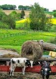 Paysage rural avec de jeunes vaches photo libre de droits