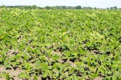Paysage rural avec l'usine verte fraîche de gisement et de soja de soja Fond d'agriculture Image libre de droits