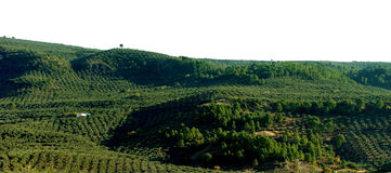 Paysage rural avec les oliviers Photographie stock libre de droits