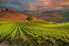 Paysage rural avec un vignoble vert parmi des collines photo libre de droits