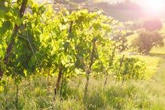 Paysage rural avec un vignoble vert parmi des collines images libres de droits