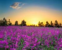 Paysage rural d'été avec fleurir les fleurs pourpres sur un pré photographie stock