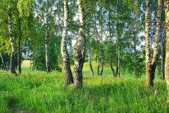 Paysage rural d'été avec la forêt et le pré sur le coucher du soleil bouleau photographie stock