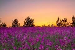 Paysage rural d'été avec les fleurs pourpres sur un pré Photographie stock libre de droits