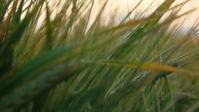 Paysage rural sous la lumière du soleil brillante Oreilles de maturation de fond de champ de blé de pré Concept riche de récolte  banque de vidéos