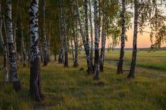 Paysage russe, bouleau sur le coucher du soleil Image stock