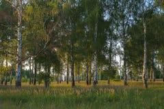 Paysage russe, bouleau sur le coucher du soleil Photos stock
