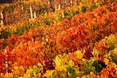 Paysage saisonnier de vignoble vibrant de couleur d'automne Fond d'automne avec les vignobles colorés Vignobles de raisin en Ital photo libre de droits