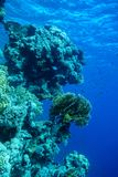 Paysage sous-marin de la vie en Mer Rouge Photo libre de droits