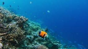 Paysage sous-marin du récif coralien Monde sous-marin étonnant d'espèce marine Plongée à l'air et naviguer au schnorchel banque de vidéos