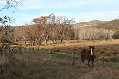 Paysage Tharwa, ACTE de cheval de Brown Photographie stock