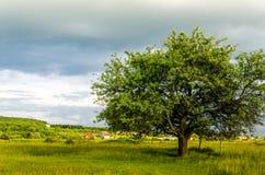 Paysage très beau d'été Arbre dans un domaine avec le nuage foncé Image libre de droits