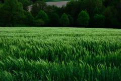 Paysage vert de ressort de champ de blé Photographie stock libre de droits
