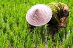 Paysan dans le domaine de riz Image stock