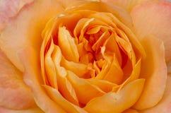 Paz amarilla hermosa Rose fotografía de archivo libre de regalías