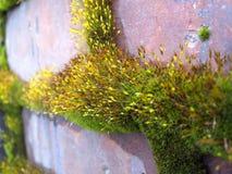 Paz da parede de tijolo velha com musgo de florescência verde de vida fotos de stock royalty free