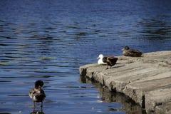 Paz y amor del pato Foto de archivo