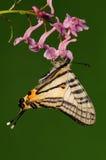 Pazala alebion /butterfly/male Arkivfoton