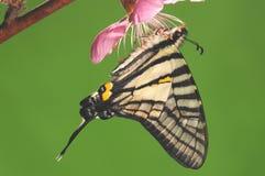 Pazala timur /butterfly är sugande nectar Royaltyfri Bild