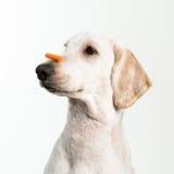 Pazienza del cane Fotografia Stock