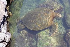 Pazifische grüne Meeresschildkröte Stockfotografie