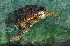 Pazifische grüne Schildkröte Stockbild