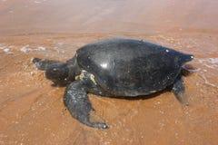 Pazifische grünes Seeschildkröten stockbilder