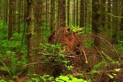 Pazifische Nordwestwald- und Durchwuchsnadelbaumbäume lizenzfreie stockfotos