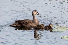 Pazifische schwarze Ente mit duclings Lizenzfreie Stockfotos