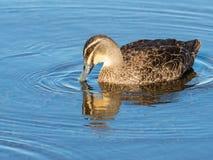 Pazifische schwarze Ente mit Reflexion Stockfotos