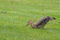 Pazifische schwarze Ente, plantschende Ente, die auf grünes Gras foragin geht Stockfotos