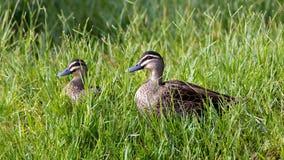 Pazifische schwarze Enten Lizenzfreies Stockfoto