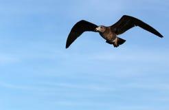 Pazifische Seemöwe im Flug Lizenzfreie Stockbilder