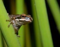 Pazifischer Baum-Frosch Lizenzfreies Stockbild