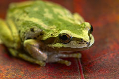 Pazifischer Baum-Frosch auf Ahornblättern 2 lizenzfreie stockbilder