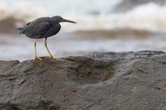 Pazifischer Küstenreiher (Egretta Sacra), Dunkelheit verwandeln Stockfoto