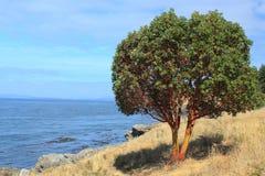 Pazifischer Madrone Baum Stockfotos