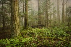 Pazifischer Nordwestwald auf einem nebeligen Morgen Stockbild