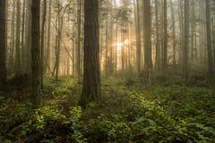 Pazifischer Nordwestwald auf einem nebeligen Morgen Stockfotos